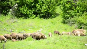 Sheep are being herded on mountain stock video footage