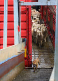 Sheep being offloaded livestock truck Royalty Free Stock Photos