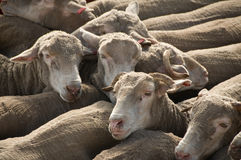Sheep being transported. Packed in Sheep ready for transport Royalty Free Stock Image