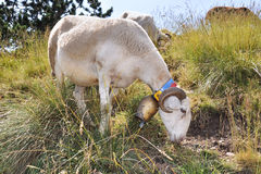 Sheep with a bell around his neck Royalty Free Stock Photo