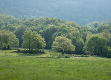 Sheep below oak trees Stock Images