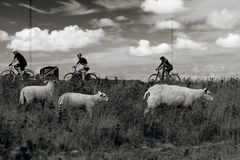 Sheep and bicyclist, 3x3 Royalty Free Stock Photos