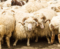 Sheep with big horns. On the background of the flock Royalty Free Stock Photo