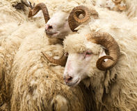 Sheep with big horns. On the background of the flock Royalty Free Stock Photos