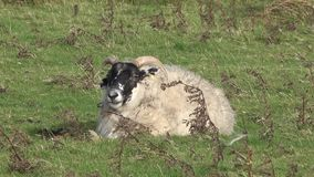 Sheep with big horns ,Buck - ram, on the Isle of Skye - Scotland.  stock footage