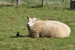 The sheep and a bird. On a beautiful day around easter stock image