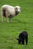 Sheep black. A black sheep (lamb) is looked at by a white sheep Stock Photos