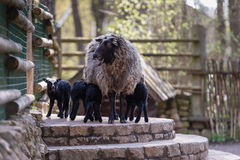Sheep with black babies farmhouse in the yard. Stock Image