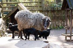 Sheep with black babies farmhouse in the yard. Stock Photography