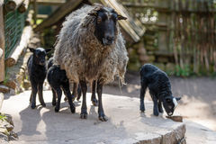 Sheep with black babies farmhouse in the yard. Stock Photo