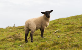 Sheep with black face and legs Royalty Free Stock Photos