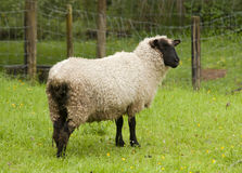 Sheep with black face. In a lush New Zealand paddock Royalty Free Stock Photo