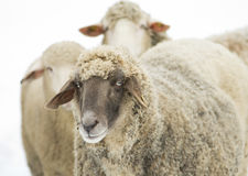 Sheep with black head Stock Photography