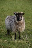 Horned sheep with black head Stock Photos