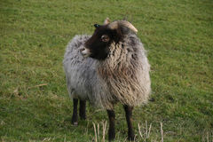 Horned sheep with black head Stock Photo