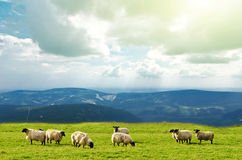 Sheep. Black sheep on landscape view Royalty Free Stock Images