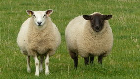 Sheep - Opposites concept Stock Image