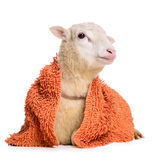 Sheep with  blanket Royalty Free Stock Image