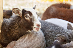Sheep bleats in herd of domestic animals Stock Photography
