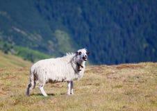 Sheep bleats and showing tongue Royalty Free Stock Photo