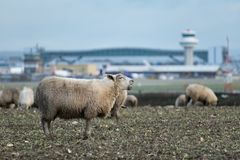 A sheep bleats whilst grazing on land where a new second runway is proposed to be built at London Gatwick Airport stock image