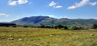 Sheep and Blencathra Royalty Free Stock Photo