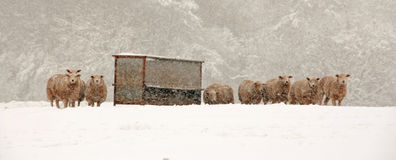 Sheep in a blizzard Royalty Free Stock Image