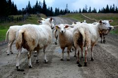 The sheep is blocking the road. An early summer morning. Picture is Taken in Hedmark Norway Stock Photos