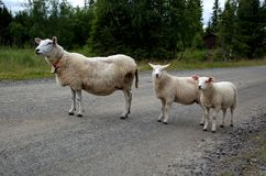 The sheep is blocking the road. ! the picture is taken summer 2014 in Hedmark Norway Royalty Free Stock Photography