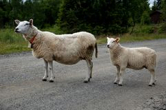 The sheep is blocking the road. ! the picture is taken summer 2014 in Hedmark Norway Royalty Free Stock Image