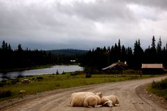 The sheep is blocking the road. ! the picture is taken summer 2014 in Hedmark Norway Stock Photos