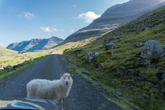 A sheep blocks the road without worrying stock photography