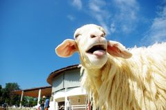 Sheep and blue sky Royalty Free Stock Photo