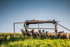 Sheep, blue sky stock images