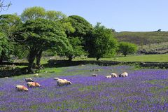 Sheep and bluebells on Dartmoor. A group of sheep in a field of bluebells on Dartmoor stock image