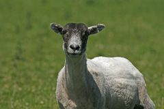 Sheep in Bodmin Moor, Cornwall Royalty Free Stock Photos