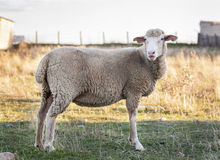 Sheep body brown color Stock Images