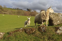 Sheep by a boulder. Sheep and her lamb standing by a boulder in a field Stock Image