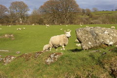 Sheep by a boulder. Sheep standing by a boulder in a field Royalty Free Stock Photography