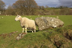 Sheep by a boulder. Sheep standing by a boulder in a field Stock Image