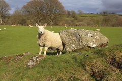 Sheep by a boulder. Sheep standing by a boulder in a field Stock Photos