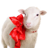 Sheep with bow. Sheep with Christmas bow. animal isolated on white background Royalty Free Stock Image