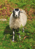 Sheep in the Bracken Royalty Free Stock Image