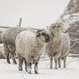 Braving the storm. Sheep braving the snowstorm in the Romanian Carpathians Royalty Free Stock Photography