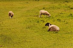 Three sheep on a green pasture. Sheep are breed for its milk and wool, and can be as well slaughtered for its meat Royalty Free Stock Images