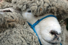 Sheep breed prize Royalty Free Stock Photo