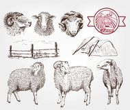 Sheep breeding Royalty Free Stock Photos