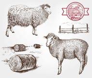 Sheep breeding Royalty Free Stock Photo