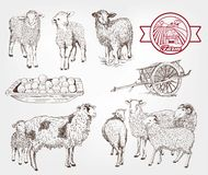 Sheep breeding Royalty Free Stock Photo