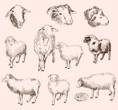 Sheep breeding Royalty Free Stock Photography